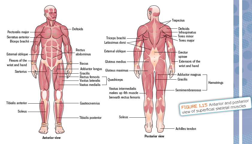 Smooth Muscular System Diagram - Trusted Wiring Diagram •